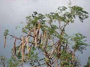 Cliquer pour agrandir. Cimes d'un Moringa oleifera dont les gousses sont bien visibles. Elles renferment les graines dont sont extraites les protéines floculantes, mais aussi de l'huile végétale. © Forest & Kim Starr CC by