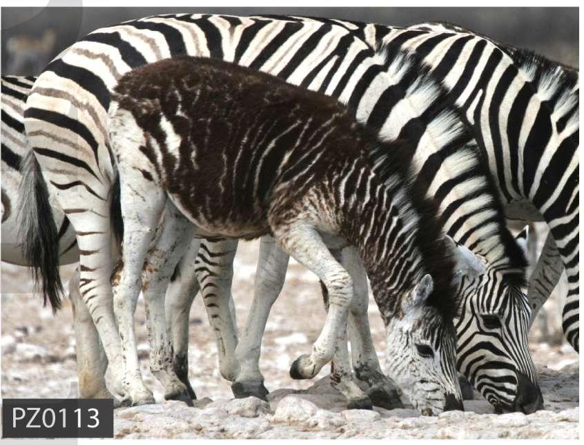 Un autre exemple de pseudo-mélanisme observé chez un jeune zèbre des plaines vivant près du lac de Mburo en Ouganda. © Brenda Larison et al. Molecular Ecology