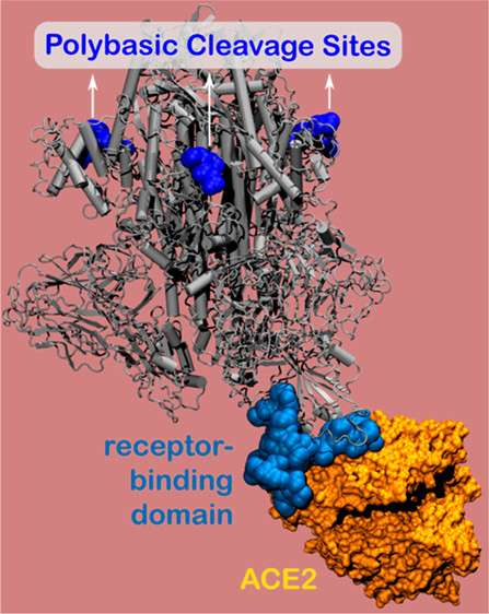 La modélisation 3D du site polybasique (en gris) et du RBD (en bleu) de la protéine virale S et du récepteur cellulaire ACE2. © Baofu Qiao et al. ACS Nano