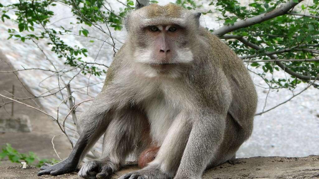 Le macaque crabier ou macaque à longue queue