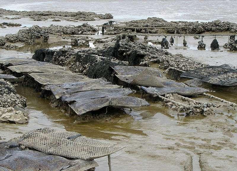 Huîtres sur une plage de Fouras, en Charente-Maritime. Il existe aussi en vente des huîtres sauvages, plus difficiles à ouvrir. © Gilbert Bochenek, cc by sa 3.0