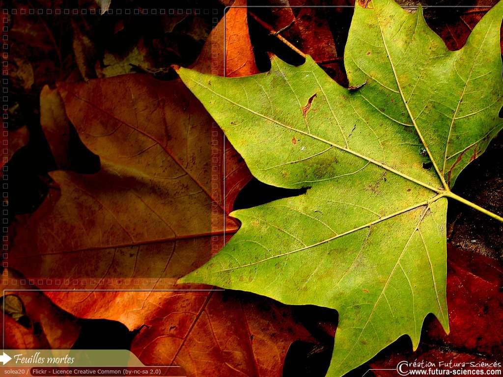 Compost De Feuilles D Érable fond d'écran | feuilles mortes