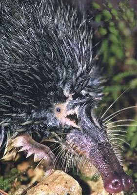 Le desman appartient à la famille des talpidés. © Toute reproduction et utilisation interdites