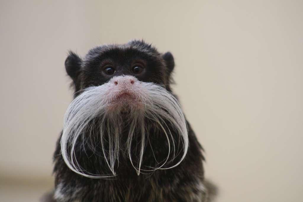 Les moustaches du tamarin empereur. © Patrick Straub