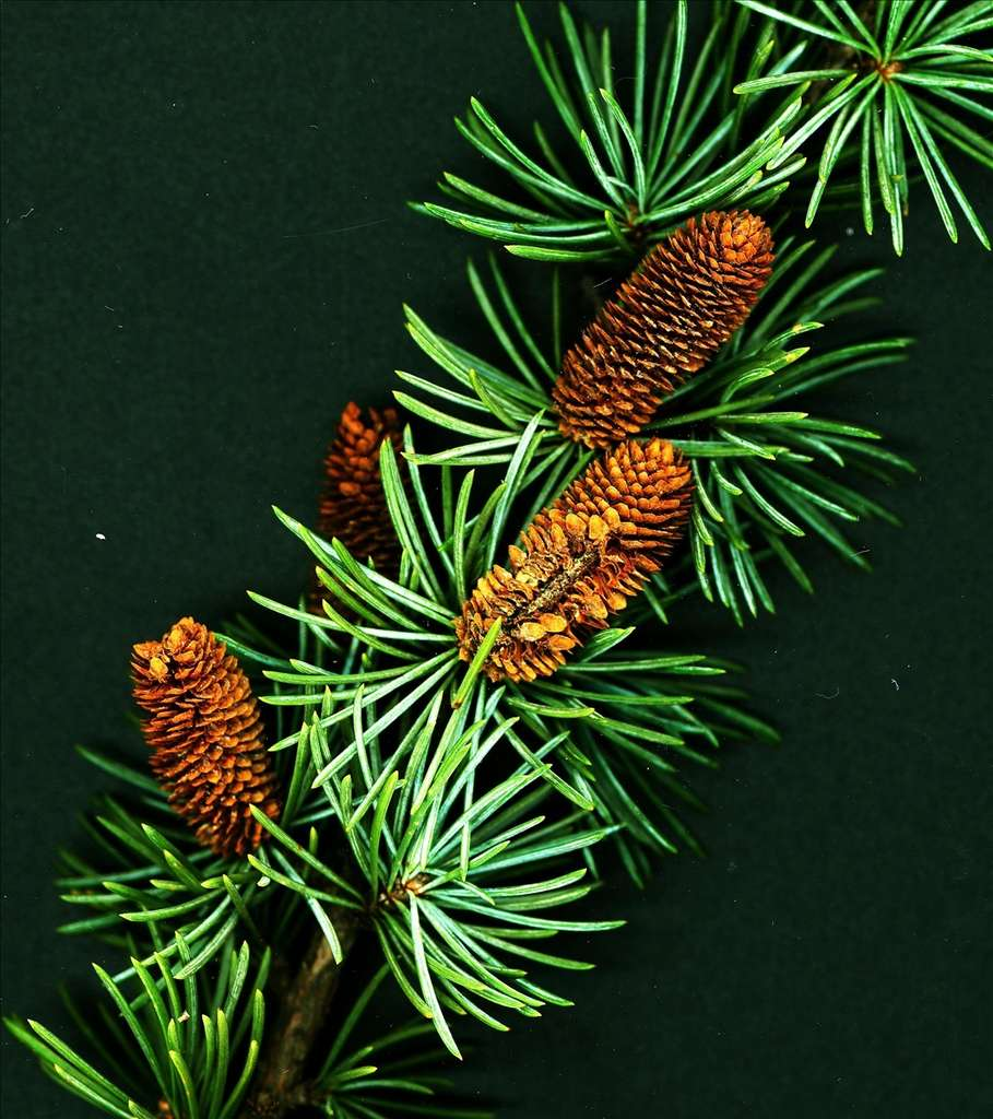 Cedrus libani. © Maggie and her camera, Flickr CC by nc 3.0