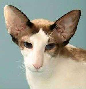 Le chat Siamois de type américain. © Chantel Hurlow, Licence GFDL/fr