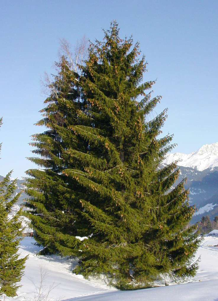 Picea abies, le sapin de Noël ! © GMF, Wikipedia, Free Documentation License