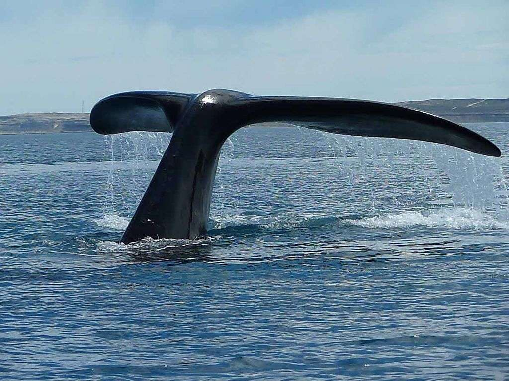 Une baleine sonde au large de la péninsule Valdés, située dans le centre-est de l'Argentine. Ce site, classé au patrimoine de l'Unesco, est l'une des principales zones de mise bas des populations de baleines franches australes. © Edith Schreurs, Wikipédia, cc by sa 2.0
