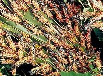 Le criquet pèlerin est une espèce d'Afrique. Particulièrement ravageurs lorsqu'ils sont en nombre suffisant, ces criquets forment des essaims dévastateurs. Chaque criquet mange chaque jour l'équivalent de son poids de végétaux. © Nasa
