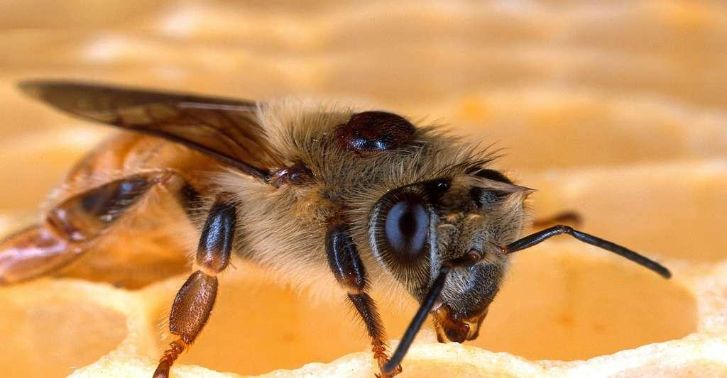 Varroa destructor sur une abeille. © Tpsdave - Domaine public