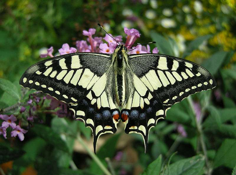 Machaon. © Thomas Bresson, CCA 2.0 Generic license