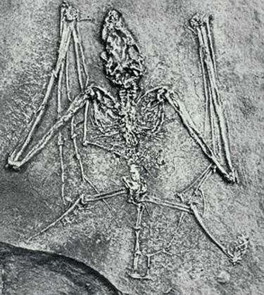Fossile de chauve-souris.