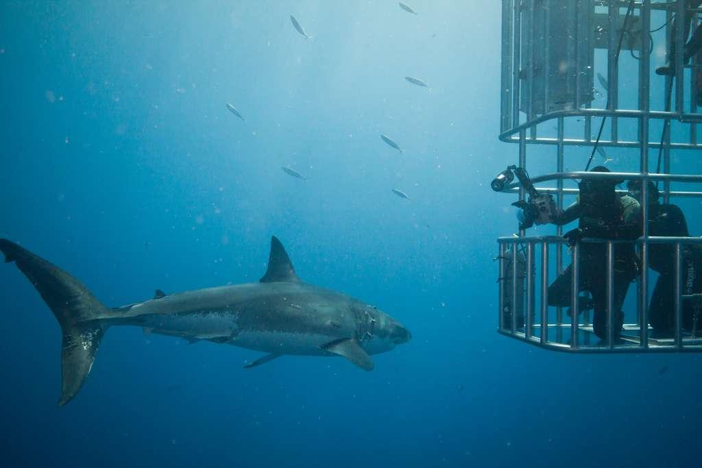 Les grands requins blancs sont notamment menacés par la pêche sportive. Par ailleurs, leurs mâchoires sont relativement prisées. © Scubaben, Flickr, cc by nc nd 2.0