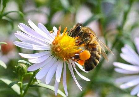 Sur cette image, l'abeille Apis mellifera ssp. a chargé ses corbeilles de pollen. S'agissant d'une abeille sociale, celle-ci se gorge également de nectar avant de regagner le rucher. Habituellement, les abeilles sociales sont spécialisées. © Patrick Straub