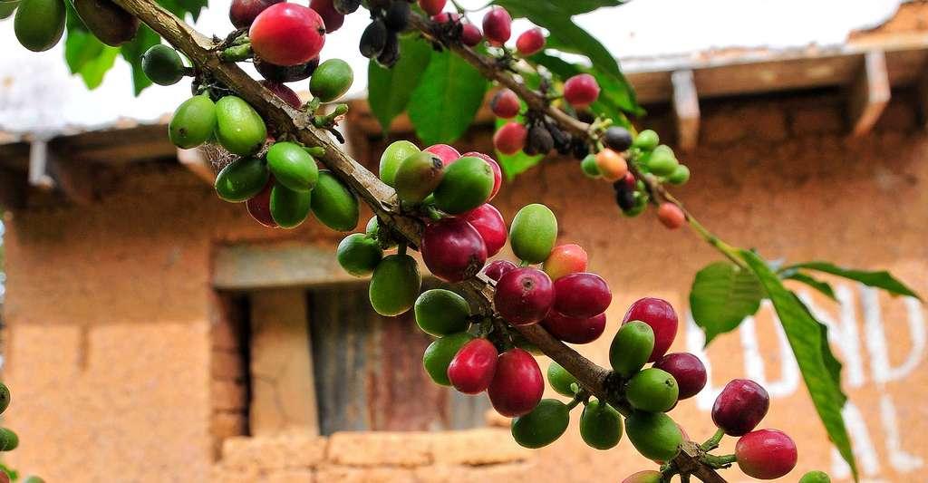 Grains de café. © CIAT, Wikimedia commons, CC by-sa 2.0