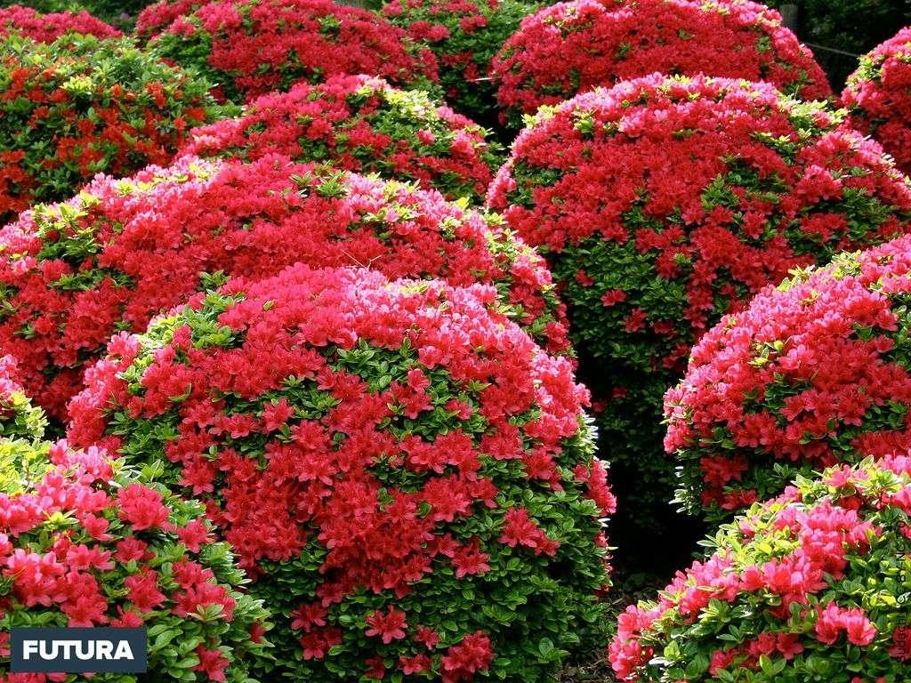 Jardin d'azalea stomatolite