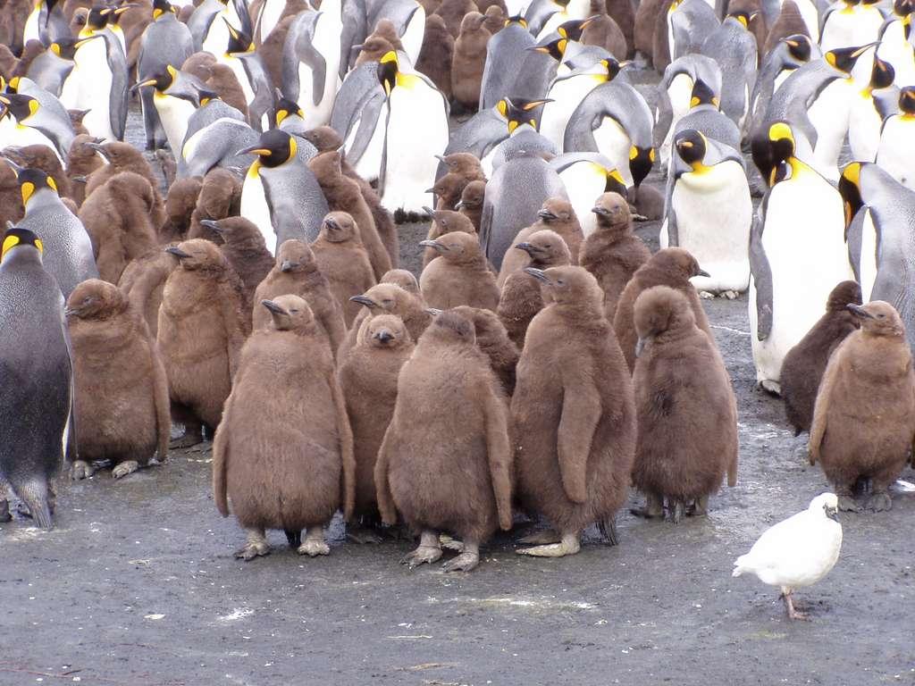 L'archipel Crozet abrite de nombreuses colonies de manchots royaux qui viennent s'y reproduire. © Dominique Génin, Flickr