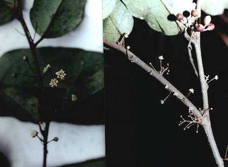 Amborella trichopoda, espèce considérée comme la plus primitive des plantes à fleurs actuelles. Arbustive et dioïque, elle est endémique de Nouvelle-Calédonie ; c'est l'espèce unique d'un genre unique de la famille des Amborellacées. © Christian Dumas - Tous droits réservés