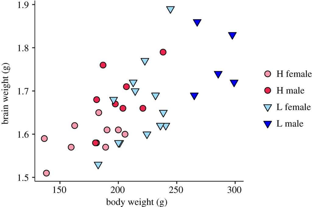 Taille du cerveau des poules en fonction de la taille du corps. Proportionnellement, le cerveau des poules sélectionnées pour être moins craintives (en bleu) est plus petit que celui des animaux « sauvages » (en rouge). © Rebecca Katajamaa & Per Jensen, Royal Society Open Science, 2020