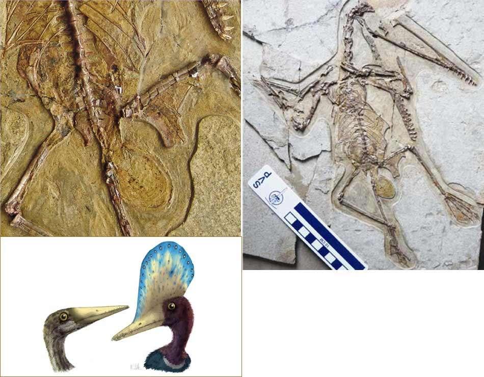 Les restes fossiles de Mrs T avec une représentation d'artiste en bas à gauche d'une femelle dépourvue de crête et d'un mâle. L'œuf est bien visible sur l'image en haut à droite. © De gauche à droite en descendant Science/AAAS, Mark Witton/University of Portsmouth, Junchang Lu