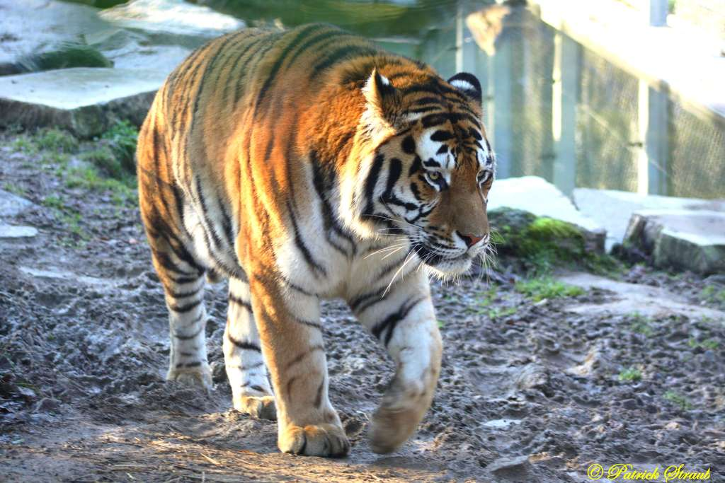 Tigre de Sibérie. © Patrick Straub