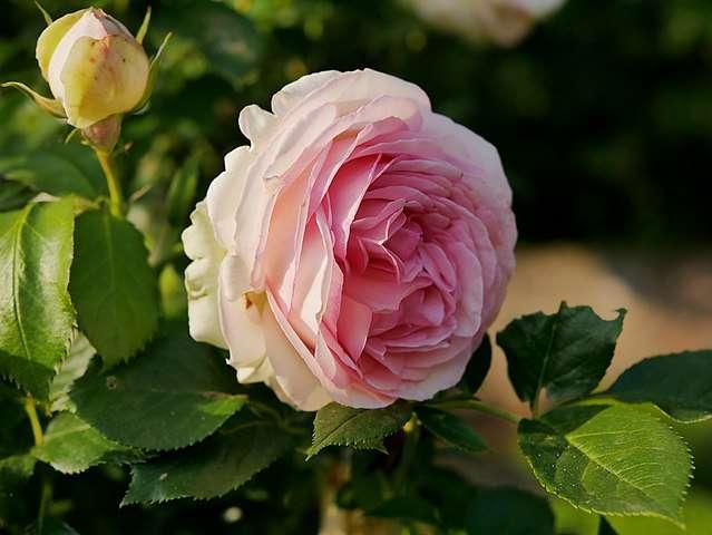 Rose 'Pierre de Ronsard'. © Helge Klaus Rieder, Domaine Public