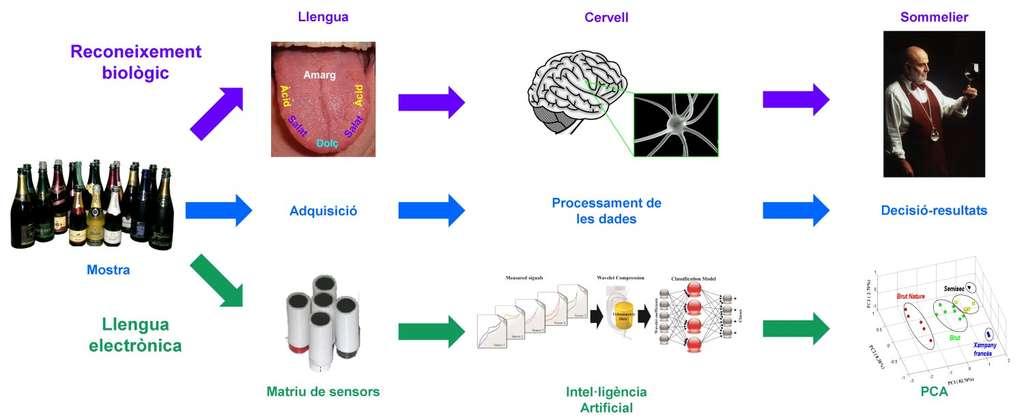 Schéma montrant le parallélisme entre le sens gustatif du goûteur de vin et le fonctionnement du système mis au point à l'UAB. Aux zones de la langue (Llengua), comportant six régions pour détecter quatre saveurs (acide, amer, salé, sucré, Acid, Amarg, Salat, Dolç), correspondent les cinq capteurs électriques. Aux réseaux de neurones du cerveau correspond le réseau neuronal électronique reproduit sur ordinateur. L'apprentissage détermine les motifs produits par les différents types de cava. Ces motifs sont schématisés en bas à droite. © Manel Valle et al./UAB
