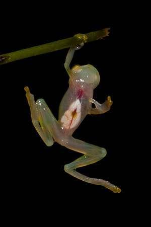 Cliquez pour agrandir l'image ou retrouvez-la dans notre galerie de photos. Une grenouille de verre de l'ouest de l'Equateur montre son cœur battant à travers son abdomen transparent. © Paul S. Hamilton / RAEI.org