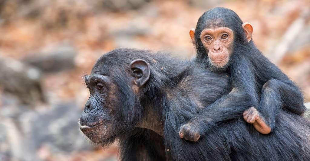 L'extinction d'une espèce peut en entraîner d'autres… Les grands singes comme les chimpanzés sont parmi les espèces menacées. © sivanadar, Shutterstock