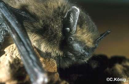 La Pipistrelle commune. © C. König, tous droits réservés