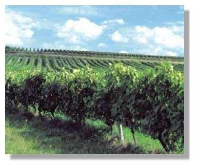 Des vignes au printemps.