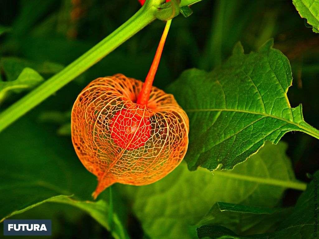 Physalis ou l'amour en cage, un fruit délicieux du Pérou