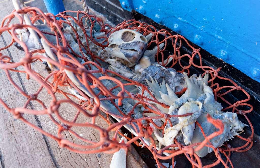 Le squelette d'une tortue prise au piège d'un filet de pêche. © Ocean Voyages Institute