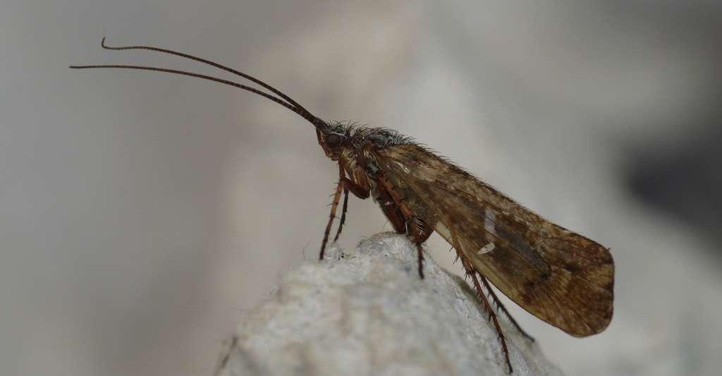 Trichoptera sp., to Robinson trap, Søborg, Denmark. © Donald Hober - CC BY-SA 2.0