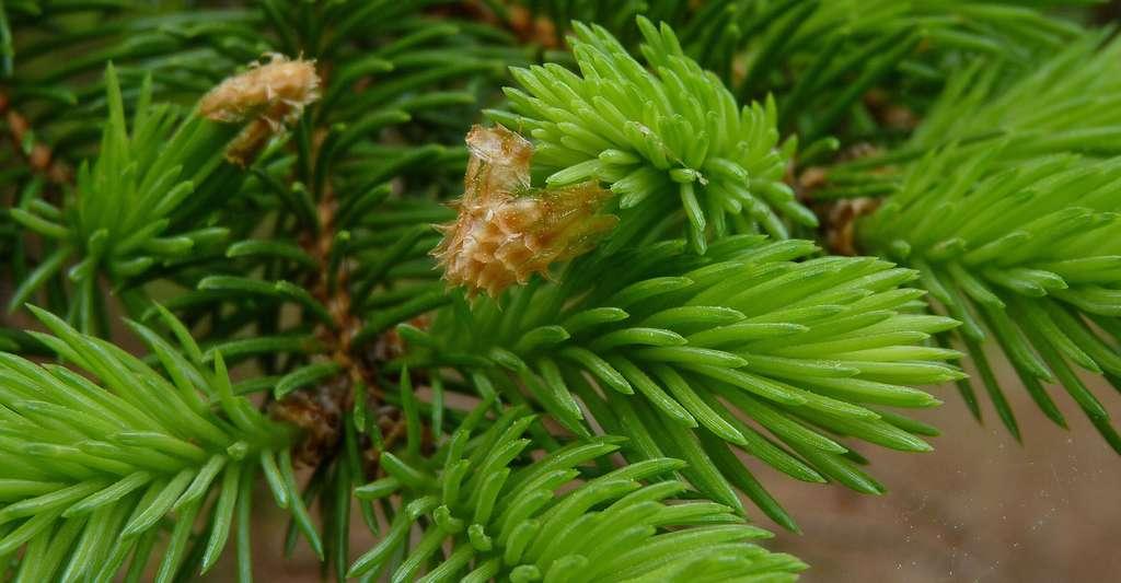 Bien qu'il perde ses aiguilles rapidement, l'épicéa commun n'est autre que le traditionnel sapin de Noël. © Dendoica cerulea, CC by-nc-sa 2.0