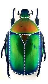Vue dorsale d'un coléoptère avec, en pointillé et de forme triangulaire, la forme rappelant un scutoïde. © Gómez-Gálvez et al., Nature Communications, 2018
