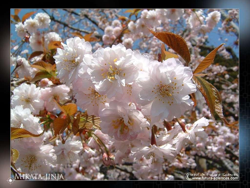 Les arbres en fleurs, un joli spectacle printanier à l'origine de nombreuses allergies. © Futura-Sciences