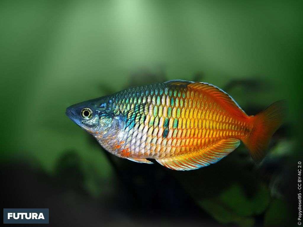 Australie poisson Arc-en-ciel Boeseman ou Melanotaenia boesemani