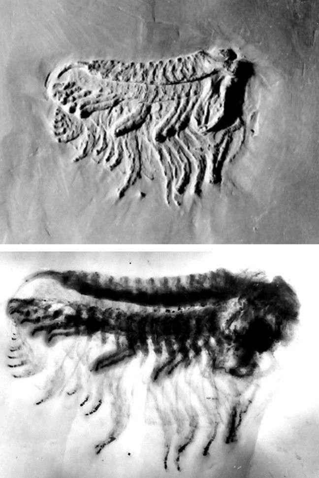 Photographie d'un fossile de trilobite [Chotecops (Phacops) ferdinandi, en haut] et radiographie effectuée par Wilhelm Stürmer (bas). © Schoenemann et al., 2021