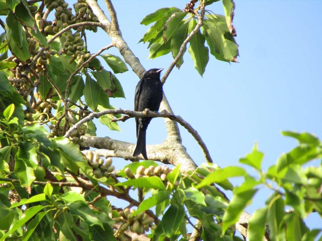 Le Drongo brillant (Dicrurus adsimilis) est très courant en Afrique subsaharienne. © comores3, iNaturalist