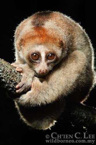 Les loris lents de Bornéo comprennent une nouvelle espèce, Nycticebus kayan. S'il a des yeux attendrissants, il faut tout de même s'en méfier, sa morsure est toxique ! Les loris lents sont les seuls primates dont la salive est toxique pour l'Homme. © Ch'ien C. Lee