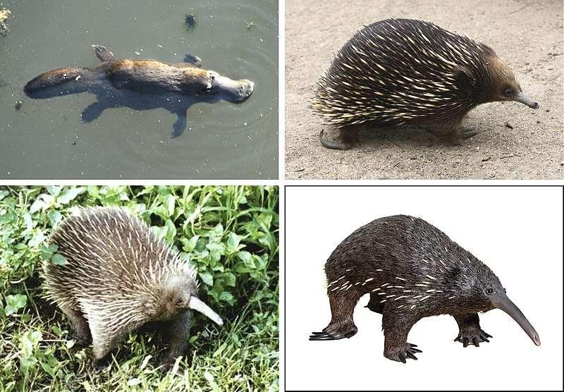Quatre des cinq espèces vivantes de monotrèmes. L'ornithorynque (en haut à gauche), l'échidné à nez court (en haut à droite), l'échidné à nez long (en bas à gauche) et l'échidné de Barton (en bas à droite). © Ypna, Wikimédia, CC by-sa 4.0
