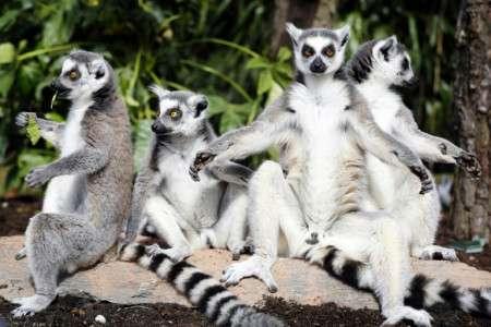 Les lémuriens, endémiques de Madagascar, sont des primates très bien adaptés à leur milieu. C'est principalement la déforestation, donc la destruction de leur habitat, qui décime leurs populations. © Bas Czerwinski, ANP, AFP Archives