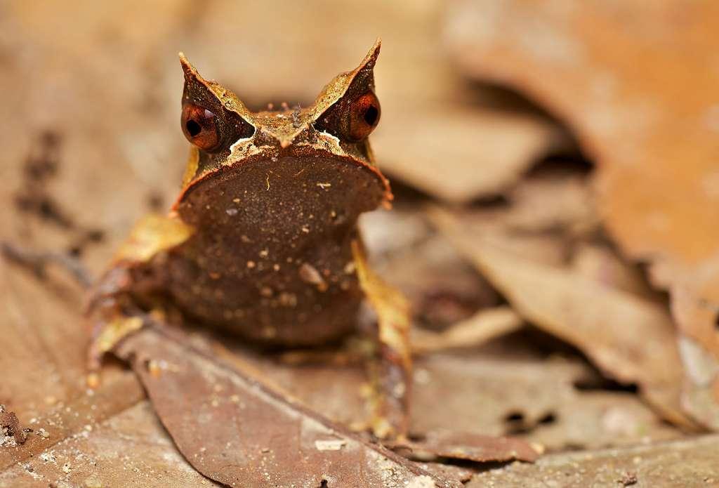 Megophrys nasuta, la reine du camouflage
