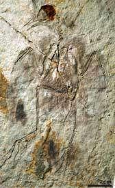 Hongshanornis longicresta, oiseau du Crétacé Crédits : Zhonghe Zhou, Fucheng Zhang, PNAS