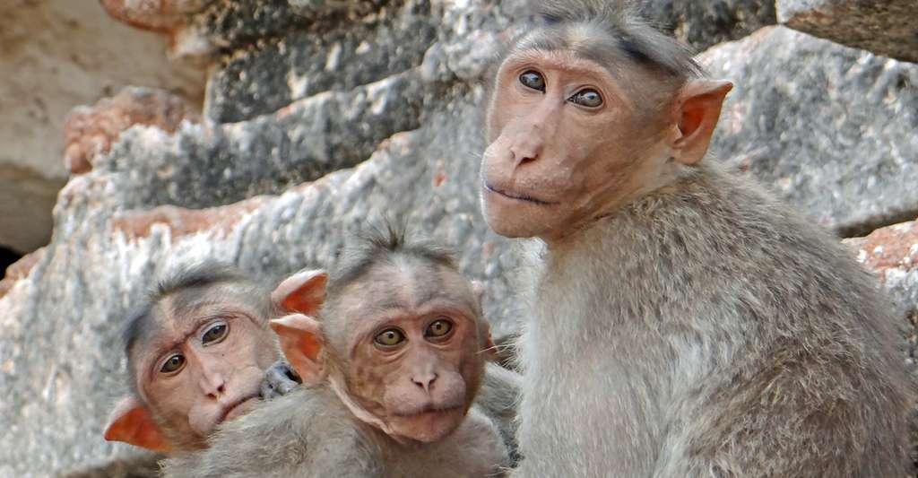 Groupe de macaques à bonnet dans le temple de Virupaksha à Hampi. © Jean-Pierre Dalbéra - CC BY-NC 2.0