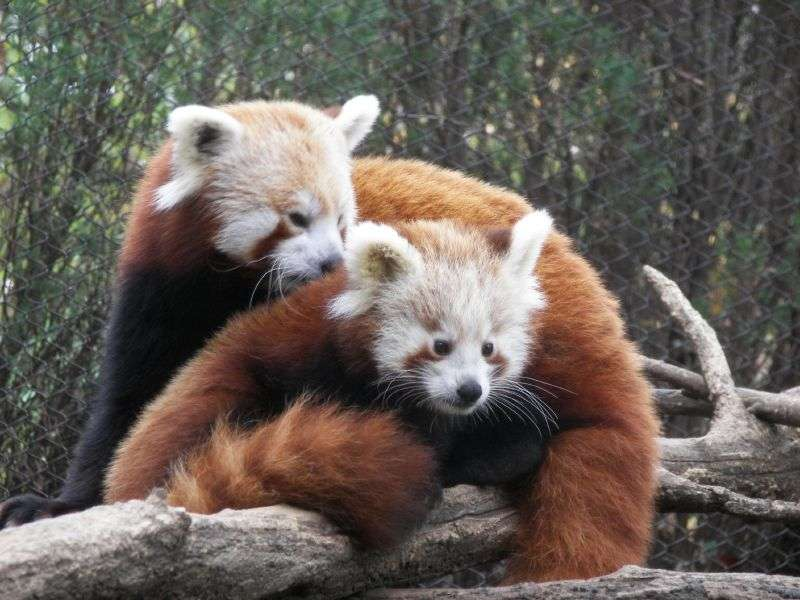 L'enfance de Firefox, le panda rouge