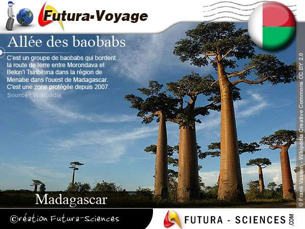 Allée de baobabs - l'arbre de vie