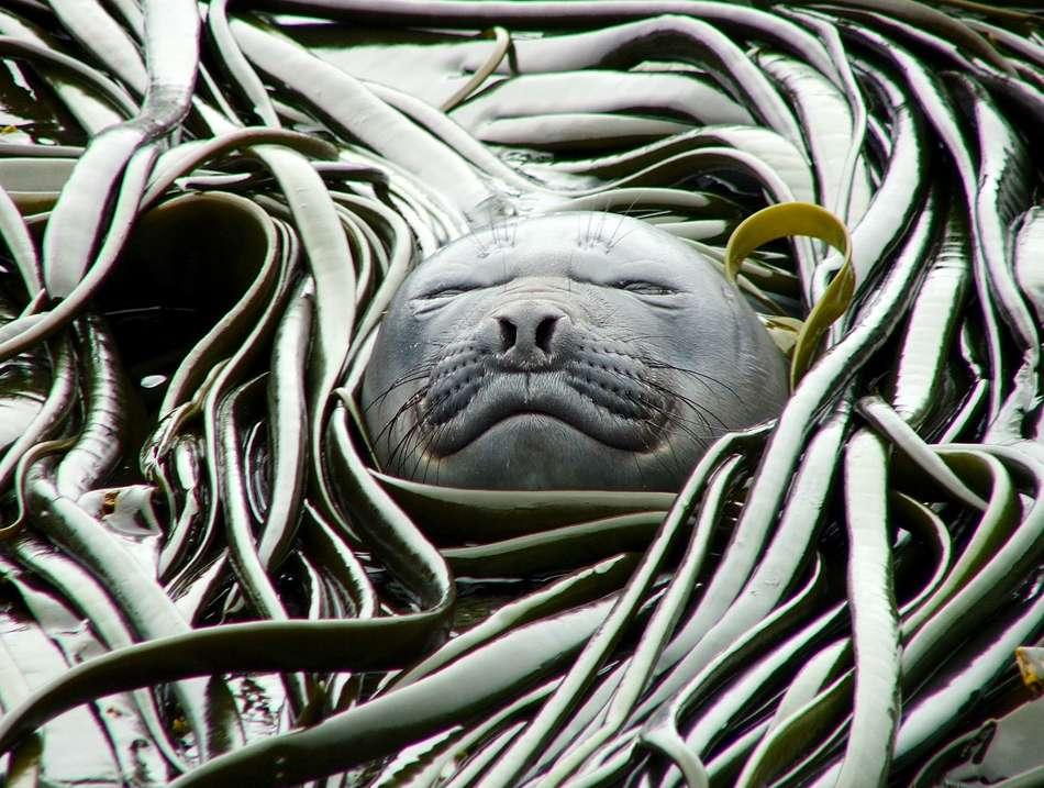 Plusieurs espèces marines ont déjà adapté leur période de reproduction, de migration ou de prise de nourriture en réponse au réchauffement climatique. © Chris Brown, UCSB