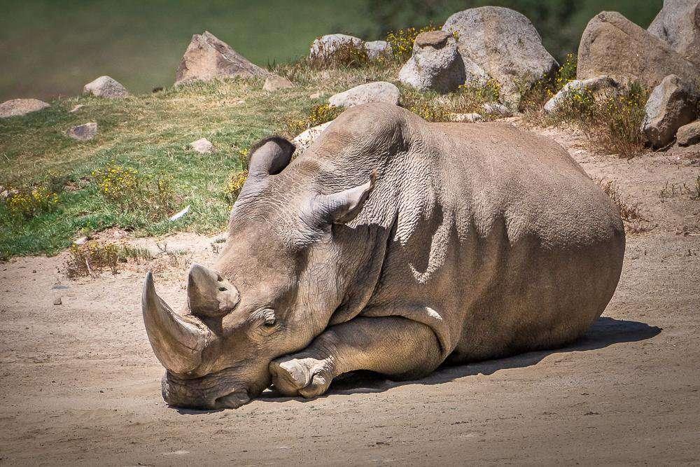 Angalifu, un des derniers rhinocéros blancs du Nord, décédé en 2014. © Helene Hoffman, San Diego Zoo Safari Park